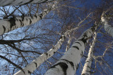 February 1, 2007Birch Tree