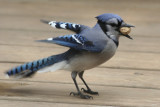 March 25, 2007Bluejay