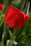 Back lit tulipMay 3, 2007