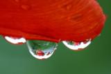 Tulip in Waterdrop