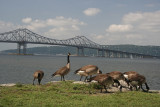 Geese and Bridge