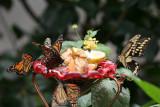 Butterflys - Bronx Zoo