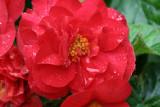 Red BegoniaSeptember 11, 2007