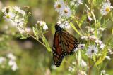 Monarch ButterflySeptember 21, 2007