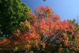Maple TreeOctober 4, 2007
