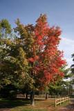 Maple TreeOctober 9, 2007