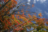 Maple TreeOctober 15, 2007