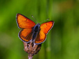 Violettkantad guldvinge, hane (Lycaena hippothoe)