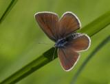 Ängsblåvinge (Polyommatus semiargus), hona