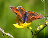 Violettkantad guldvinge (Lycaena hippothoe), hona