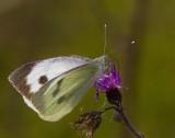 Kålfjäril (Pieris brassicae)
