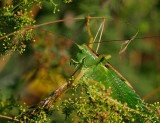 Grön vårtbitare (Tettigonia viridissima)