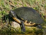 Turtle sp.