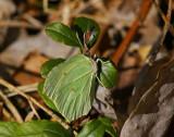 Citronfjäril (Gonepteryx rahmni)