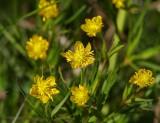 Majsmörblomma (Ranunculus auricomus)