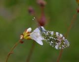 Aurorafjäril (Anthocharis cardamines)