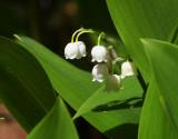 Liljekonvalj (Convallaria majalis)