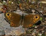Berggräsfjäril, hona (Lasiommata petropolitana)