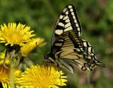 Makaonfjäril (Papilio machaon)