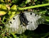 Mnemosynefjäril (Parnassius mnemosyne)