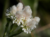Kattfot (Antennaria dioica)