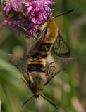 Svävfluglik dagsvärmare (Hemaris tityus)
