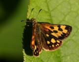 Svartfläckig glanssmygare, hona (Carterocephalus silvicola)