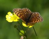Veronikanätfjäril (Melitaea britomartis)