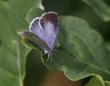 Tosteblåvinge (Celastrina argiolus), hona