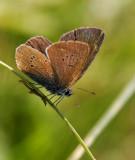 Silverblåvinge, hona (Polyommatus amandus)