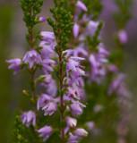 Ljung (Calluna vulgaris)