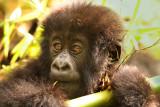 Mountain Gorillas From Hirwa Group, Rwanda