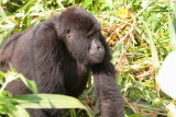 We encountered the gorillas in a valley, and here one of the females walks by.