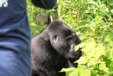 A silverback walks by, completely ignoring the small group of human onlookers.