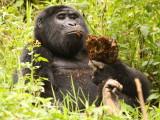This gorilla, named Karibu, was enjoying some tree bark.