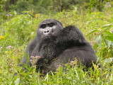 The silverback watches us as we struggle to follow the group up a very steep hill.