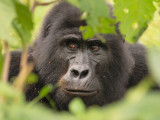 Mountain Gorillas From Nkuringo Group, Uganda