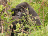 This gorilla kept sticking her face into the tree to retrieve more bark, making this a difficult picture.