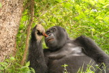 The silverback savors a meal of tree bark.