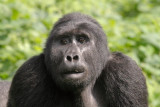 When we first arrived at the group, the silverbacks were chasing off a solitary blackback intent on doing some wife-shopping from the group's female ranks.