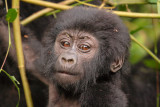 Mountain Gorillas of Rwanda and Uganda, Jan. 2007