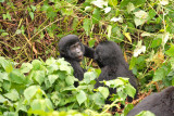 Meanwhile, up a ridge, two other young gorillas square off in a play fight.