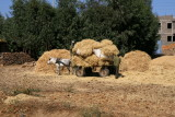 A wagon is loaded with hay near Axum
