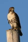 Red-tailed hawk, Reelfoot Lake