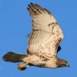 Red-tailed hawk in flight, Reelfoot Lake