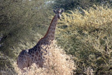 Giraffe -- our first game sighting