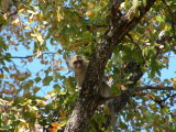 Vervet Monkey at the South Gate to Moremi