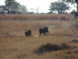 Warthogs raise their tails as they run away