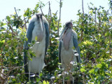 Marabou storks on an island in the Delta