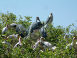 Collection of yellow-billed and marabou storks